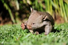 9 month old Wombat joey named Milo at Australia Zoo #wombat #joey #baby #animal #wildlife #australiazoo #australia