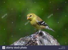 Female American goldfinch Stock Photo