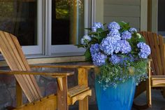 Container Blues - 29 Ways to Grow Hydrangeas in Containers - Southernliving. Add a spiller plant, like this pretty tangle of stems and delicate flowers, below the clouds of blue hydrangea blooms for an easy touch to elevate a simple container. See the Idea