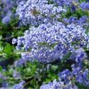 Ceanothus 'Autumnal Blue', California Lilac 'Autumnal Blue', Ceanothus arboreus 'Autumnal Blue', Blue Flowers, Fragrant Shrubs, Evergreen Shrubs, Fall Flowers