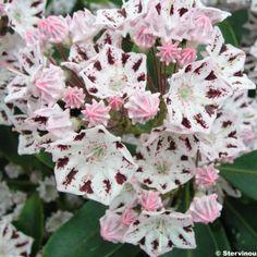 Kalmia latifolia Windrose - Laurier des montagnes blanc à spots pourpre foncé