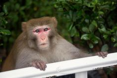 Rhesus Macaque (Macaca mulatta) by Istvan Kadar - Photo 189430679 / 500px