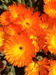 Carpobrotus glaucescens also known as Pigface or Angular Pigface Succulents Garden, Garden Plants, Drought Tolerant, Orange Flowers, Creepers, Shrubs, Flora, Exotic, Photo And Video