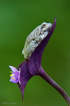 Gray Tree Frog | Flickr - Photo Sharing!