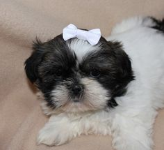 Small White Dog Hair Bow. Perfect for Small Pup. #toydog