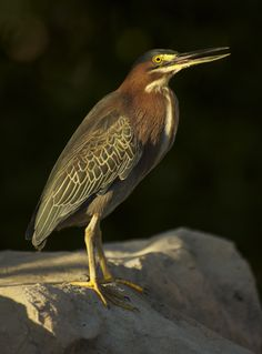 Grand Cayman - Green Heron. At the watering hole...(our pool) he/she visits most days at dusk! Photo by Katie Alpers www.indigodivers.com