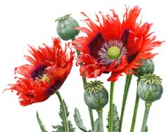 watercolor painting botanicals   Fiery Poppies painting print