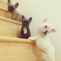 Frenchie Dog Goodness. Too cute for words
