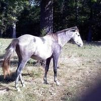 Gorgeous Guy with Unique Coloring for sale in Missouri, United States of America :: HorseClicks