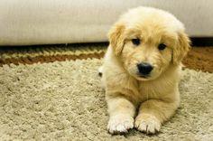 Cute Golden Puppy