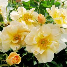 Rose 'Above and Beyond' Climbing rose with yellow apricot flowers blooming in May & June; hardy to zone 3