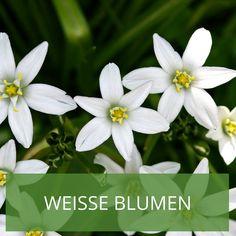 Lieblich Weiße Blumen Im Garten U2013 Inspiration Zur Gartengestaltung