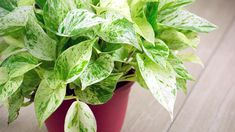 Pick the right house plants for healthy air in your home. Eliminate indoor air pollution and enhance your surroundings with these beautiful plants.