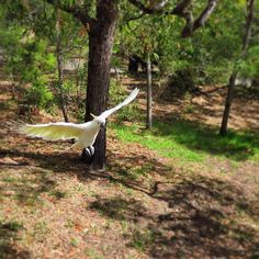 #cockatoo #rangerharris #lorne #australia by adrienharris http://ift.tt/1IIGiLS