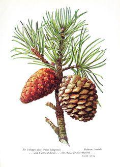Fir Aleppo Pine Vintage 1957 Botanical Print by mysunshinevintage