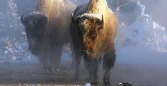 American bison, Yellowstone National Park, Wyoming, USA