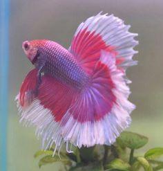 Pink Betta Fish | Pink betta | Beautiful fish