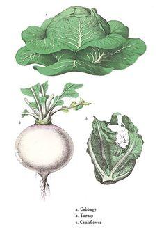 Botanical Drawings | Botanical art print of a Cabbage, Turnip and Cauliflower