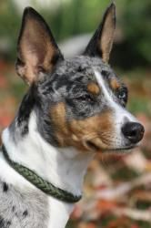 Rat Terrier - blue merle, tan, and white