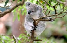 Can the Koala Genome Save the Species From Deforestation and Chlamydia? Bucket List Destinations, Australia Travel, Habitats, Safari, Animals, Koala Bears, Wild Things, Adventurer, Travel Ideas