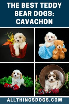 Another Cavalier King Charles Spaniel cross, the Cavachon is the result of beingcrossed with a Bichon Frise to create the fluffiest dog you will ever likely see. Known for their loyal and loving nature, read on to learn about about this fluffy white teddy bear dog.  #teddybeardog #teddybeardogbreeds #cavachon Best Teddy Bear, White Teddy Bear, Teddy Bear Dog, Bear Dog Breed, Dog Breeds, King Charles Spaniel, Cavalier King Charles, Cavachon, Different Dogs