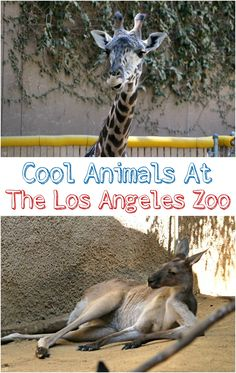 Does the Los Angeles Zoo have cool animals? You bet they do! Check out the photos of these cool zoo animals we found hanging out at the Los Angeles Zoo! Best Family Vacation Spots, Vacation Trips, Los Angeles Zoo, Time Travel, Travel Tips, Zoo Animals, Travel With Kids, Hanging Out, Travel Inspiration