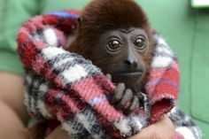 "All Bundled Up: A volunteer holds a baby red howler monkey at the Santa Fe Zoo in Medellín, Colombia, on Dec. 17. Later that day, all eight of the zoo's red howlers would be released back into the wild. They had been staying at the zoo for months after being confiscated from wildlife traffickers. The IUCN Red List classifies the species as one of ""least concern."" (Photo: Raul Arboleda/AFP/Getty Images)"