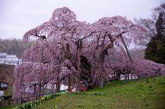 "The Miharu Takizakura (三春滝桜, litt. waterfall cherry tree of Miharu) is an ancient cherry tree in Miharu, Fukushima, in northern Japan. It is a weeping higan cherry (Prunus pendula ""Pendula Rosea"", benishidarezakura in Japanese) and is over years old. Cherry Blossom Tree, Blossom Trees, Blossoms, Weeping Cherry Tree, Fukushima, Prunus, Garden Shop, Fantasy Inspiration, Mount Rushmore"