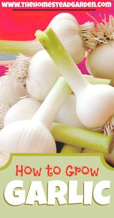 Learn how to grow garlic so that your kitchen never runs out of a great, organic supply. It's easy to grow if you learn all the steps! Learn how to plant, maintain, and harvest your garlic in my post.