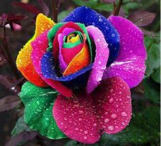 A beautiful Rainbow Rose