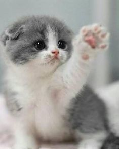 These lovely kittens will brighten your day. Cats are amazing creatures. - These lovely kittens will brighten your day. Cats are amazing creatures. Kittens And Puppies, Cute Cats And Kittens, Kittens Cutest, Kitty Cats, Pet Cats, Funny Kittens, I Love Cats, Crazy Cats, Beautiful Cats