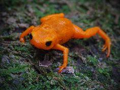Brachycephalus ephippium | Flickr - Photo Sharing!