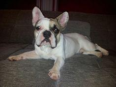 Couchen, French Bulldog