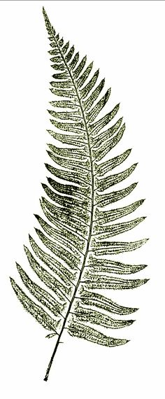Sword Fern for tattoo