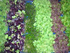 "Fresh, aromatic micro-greens from Koppert Cress ""farm"" www.usa.koppertcress.com"