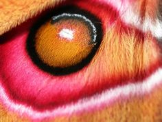 Madagascan Emperor Moth- life imitates nature and nature imitates life. art imitates them both. this look just like an eye. but it's a moth. just amazes me.