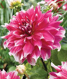 Dahlia, Dinnerplate Frost Nip.Super size special selection.