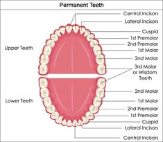 Labeled Diagram Incisors Great Installation Of Wiring Diagram