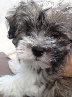 HAVANESE PUPPIES FOR SALE   PAST PUPPIES