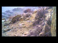 Eine Sensation! Uns sind extrem seltene Videoaufnahmen von einem Leoparden-Paar in Aserbaidschan gelungen. Wissenschaftler vermuten in der Kaukasus-Region nur 40-60 lebende Exemplare, der Leopard ist also eines der seltensten Tierarten weltweit.