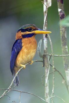 Rufous-collared Kingfisher (native to Brunei, Indonesia, Malaysia, Myanmar, Singapore and Thailand)