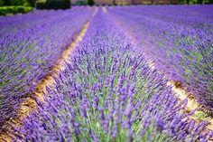 Lavendelfelder in der Provence: Typisches Aushängeschild der Region. Lavender Fields, Lavender Flowers, Blue Flowers, Flowers Garden, Lavender Garden, Meadow Flowers, Lavender Oil, Organic Gardening, Gardening Tips