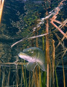 Underwater photography: Underwater wildlife photography: Pike fish by Robert Cuss Pike Fishing Tips, Trout Fishing Tips, Fishing Videos, Crappie Fishing, Bass Fishing, Fishing Boats, Fishing Stuff, Fishing Photography, Wildlife Photography