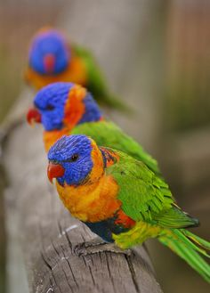 I see these Rainbow Larikeets in my backyard, here in Australia, quite often. Never get tired of them. They're so pretty!