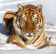 siberian+tigers   Siberian Tiger Face To Face Photograph - Siberian Tiger Face To Face ...