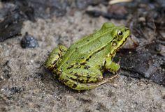 Edible Frog  żaba wodna