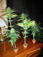 Micro - cannabis art from Stunted