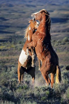 © Randall Roberts Two wild horses spar near sunset in the sage brush landscape of Sand Wash Basin