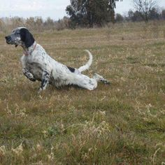 Blue Belton English Setter on one heck of a point!