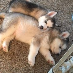 ~ EXPAND PIN FOR BETTER VIEW OF THESE GORGEOUS HUSKY PUPS ~